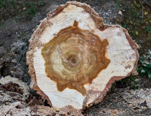 Kranker Baum gefällt